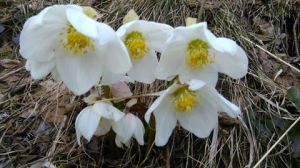 spring flowers 13Mar2015